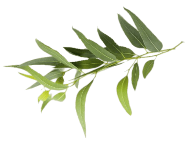 Dispense Magazine Terpene Profile - Eucalyptol